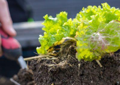 Garteln: Salatpflanzen setzen