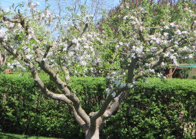 Unser schöner, guter Apfelbaum
