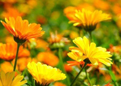 Wunderbare Ringelblume