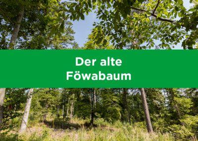 Der alte Föwabaum